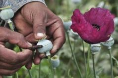 A man lances a poppy bulb to extract the sap, which will be used to make opium, at a field in the municipality of Heliodoro Castillo, in the mountain region of the state of Guerrero January 3, 2015. REUTERS/Claudio Vargas
